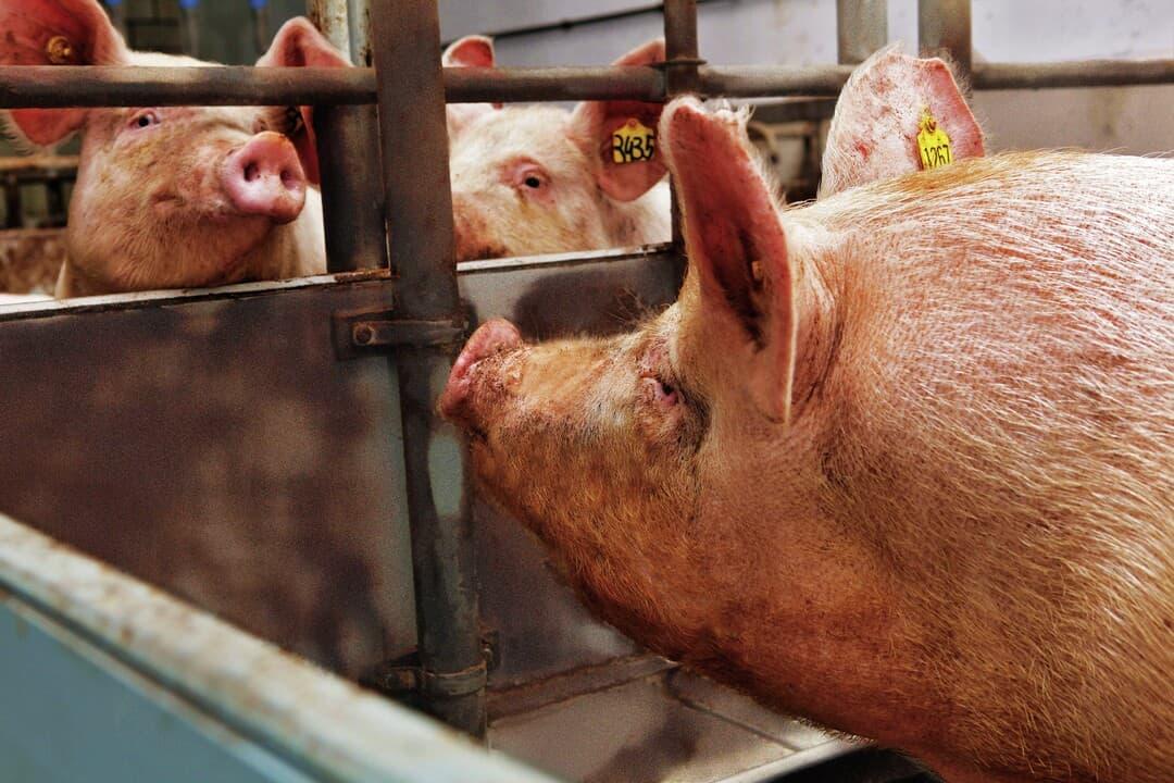 suinos-suinocultura-brasileira-producao-carne-carne-suina-exportacao