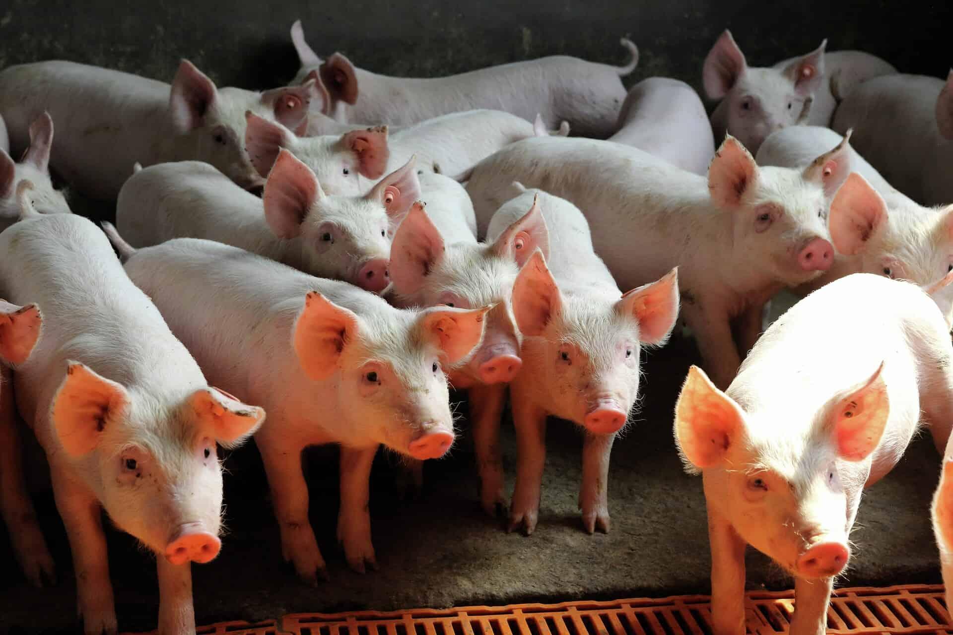 suínos, suinocultura brasileira, produção, carne suína