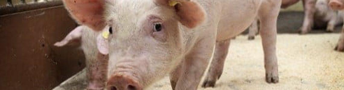 carne suína; exportações; crescimento; maio