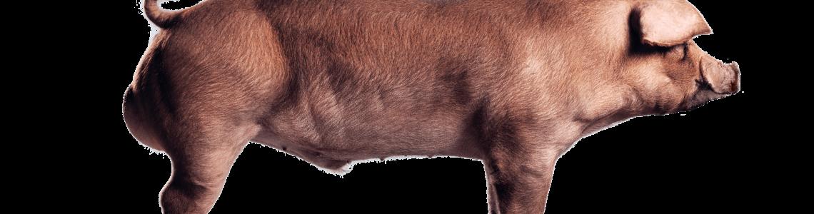 suínos; mercado; internacional; suinocultura brasileira; carne