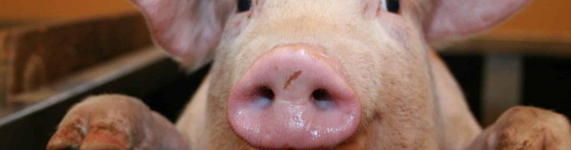 suínos, suinocultura brasileira, produção de carne, carne suína, expansão